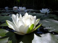 water lily floating
