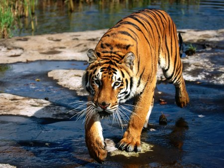 bengal-tiger-at-the-river