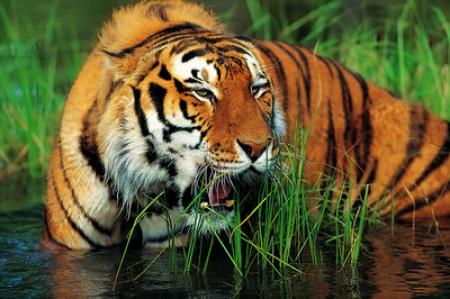 tiger-river-wading-inkbluesky