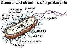 prokaryote