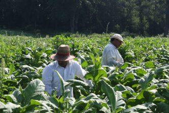 trabajadores agrícolas H2-A pueden renunciar a sus empleos pero deben abandonar el país