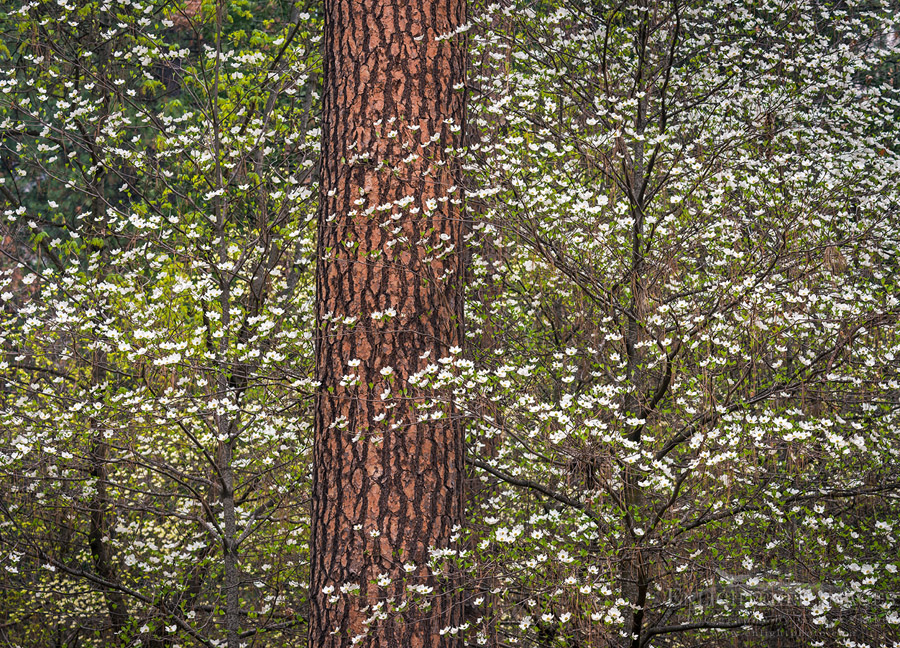 http://enlightphoto.com/photo-info/dogwood-flowers-yosemite-valley-forest-photo.html