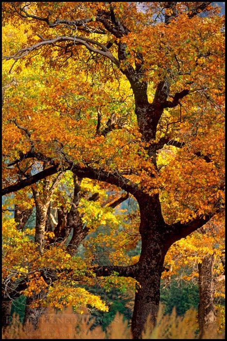 http://enlightphoto.com/photo-info/yos0253-oak-tree-autumn-yosemite-photo.html