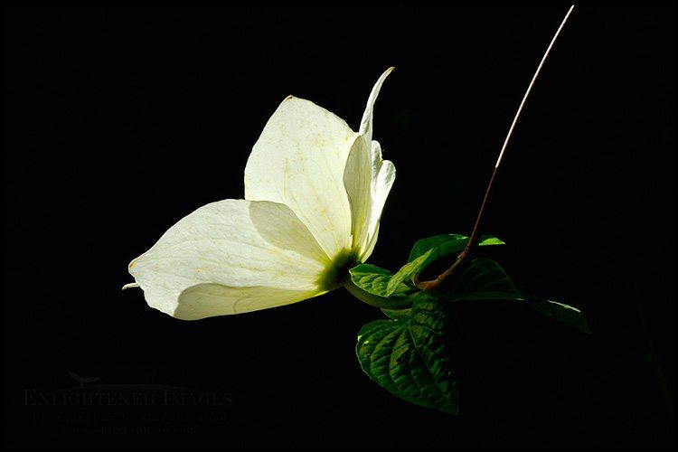 http://enlightphoto.com/photo-info/vly22079-dogwood-flower-blossom-photo.html