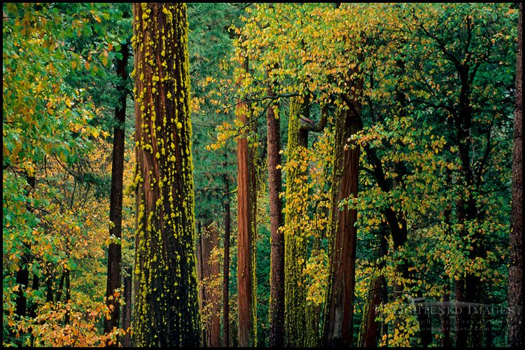 http://enlightphoto.com/photo-info/vly31087-trees-forest-yosemite-valley-photo.html