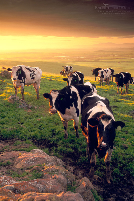 Photo: Dairy Cattle at sunrise over the Central Valley, near Tracy, California