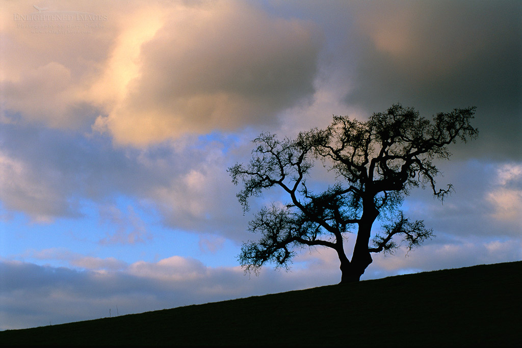 Photo: Late afternoon light on storm clouds over a lone Vallet Oak in winter, Alhambra Valley, California
