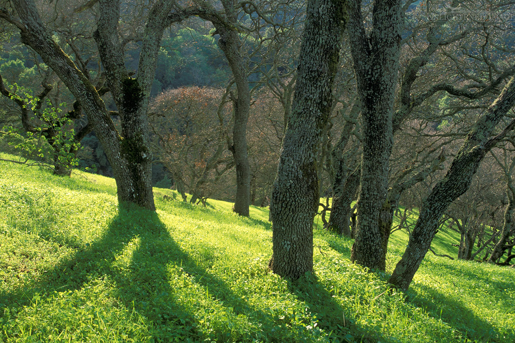 Photo: Oak trees and green grass on hills in spring, Briones Regional Park, Contra Costa County, California