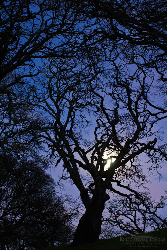 Photo: Barren oak tree branches in evening by the light of the full moon, Briones Regional Park, Contra Costa County, California
