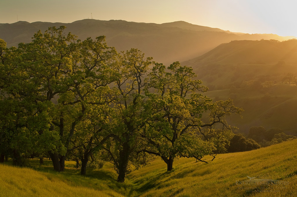 Photo: Oak trees and green hills at sunset in Spring, Sunol Regional Wilderness, Alameda County, California