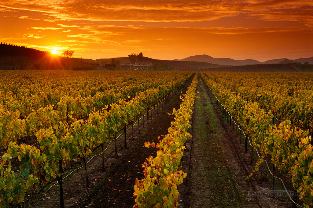 Photo: Sunset over Napa Valley vineyard in the Carneros Region, Napa County, California