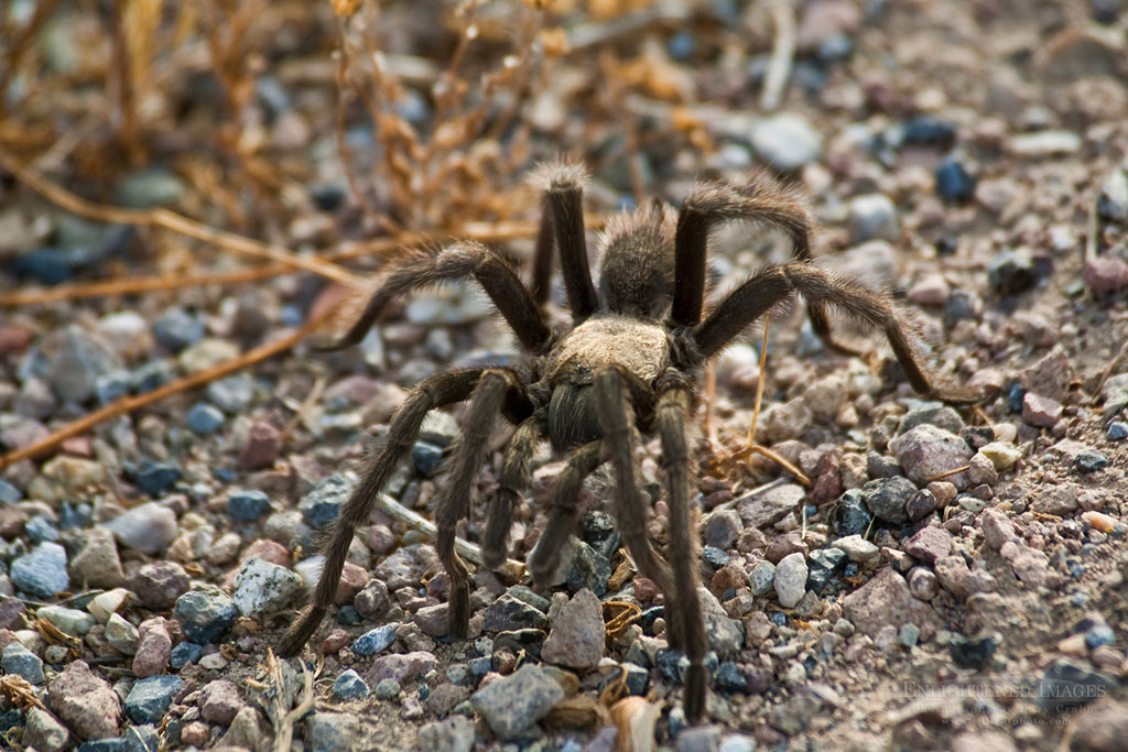 Photo: Tarantula spider, Death Valley National Park, California