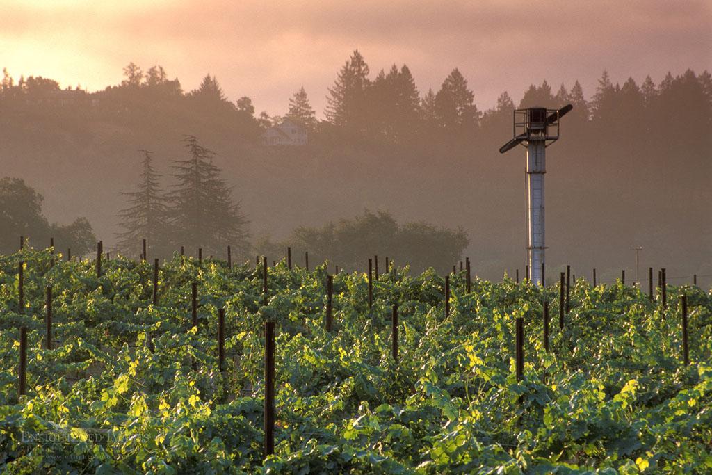 Photo: Vineyard at sunrise in the Napa Valley, near St. Helena, Napa County, California