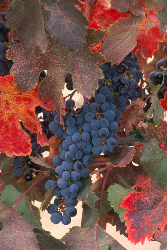 Photo: Red wine grapes and leaves on vine in fall, Napa Valley Wine Country, California