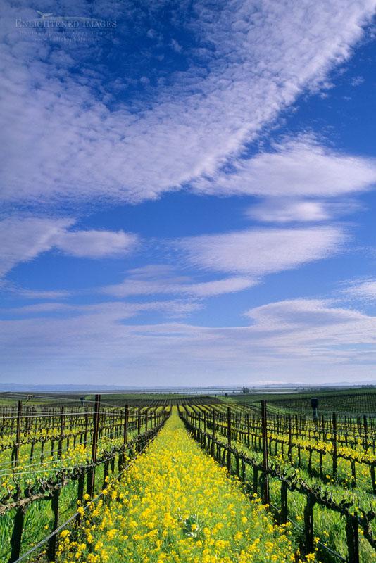Photo: Mustard flower bloom in vineyard in early spring in the lower Carneros Region, Napa County, California
