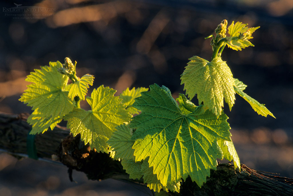 Photo: Young grape leaves in spring, vineyards of the Carneros Region Napa County, California