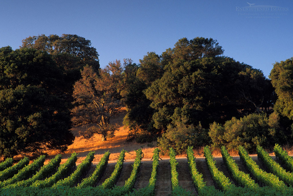 Photo: Sunset on oak trees and vineyards in the Carneros Region, Napa County, California