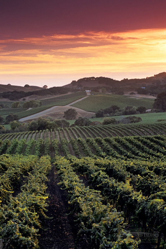 Photo: Sunset over vineyards in the Carneros Region, Napa County, California