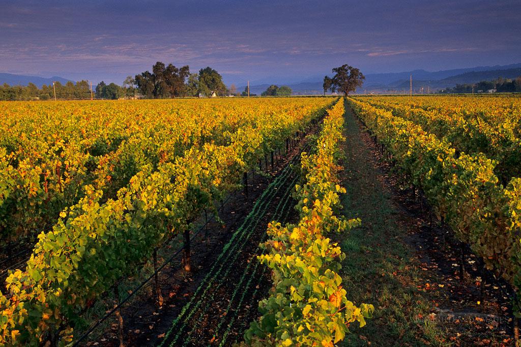 Photo: Vineyards at sunrise, near Yountville, Napa Valley, Napa County, California