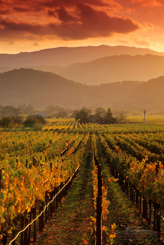 Photo: Sunset light over vineyards in fall along the Silverado Trail near Oakville, Napa County, California