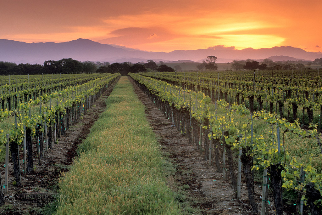 Photo: Sunrise over vineyard in spring near Santa Ynez, Santa Barbara County, California