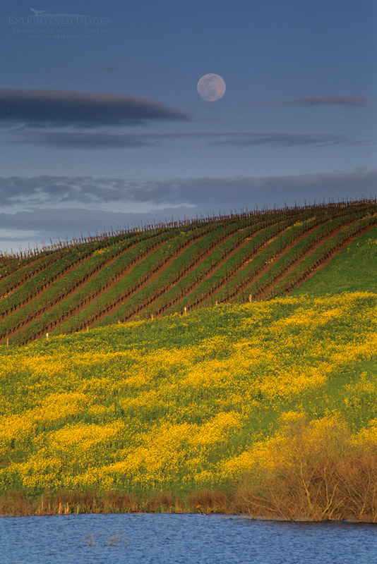 Photo: Spring moonrise over mustard, pond, & vineyard in the lower Carneros Region, Sonoma County, California