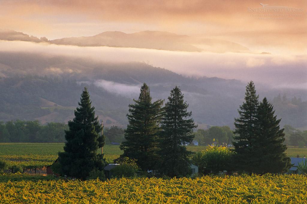 Photo: Morning light on vineyards, Geyserville, Alexander Valley, Sonoma County, California