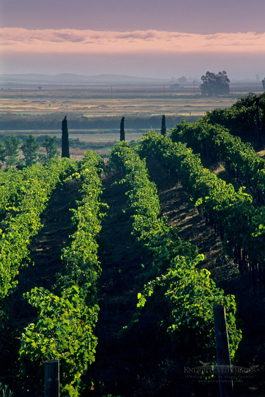 Photo: Rows of grapevines in vineyards at Viansa Winery, Sonoma Valley, Sonoma County, California