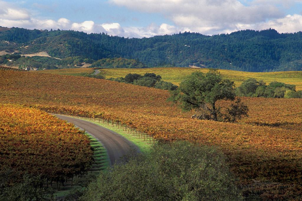 Photo: Road through Vineyards in fall at Silver Oak Cellars, Alexander Valley, Sonoma County, California