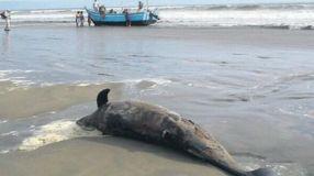 Delfines varados en Lambayeque (El Comercio)