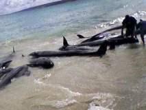 Delfines muertos en la costa peruana