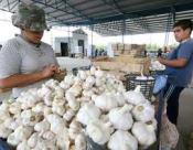 Las exportaciones de ajo peruano no pagan impuesto en brasil gracias al ACE 58