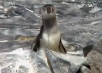 Pingüinos de Humboldt (Canal NTD TV, Agencias)