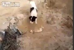 (Video) Perro entierra a cachorrito muerto en Medio Oriente