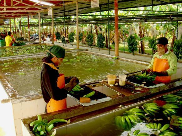 """Cada semana los productores bananeros del Valle piurano del Chira pierden US$ 400 mil, debido a la presencia de la """"mancha roja"""" en el fruto"""