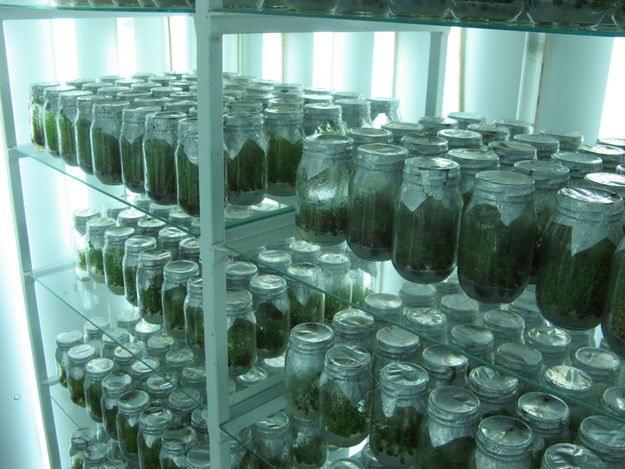 Con la importación de vegetales, como las plantas in vitro (en la foto),se podrán desarrollar  productos de calidad siguiendo algunos patrones.