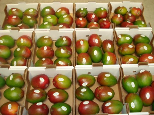 El mango kent lambayecano es un producto de gran calidad y por ello muy demandado en el exterior.