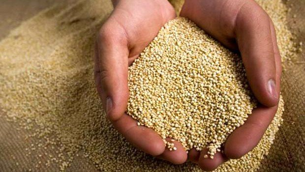 Empresarios saudíes tienen gran interés de importar la quinua peruana, a la cual consideran el alimento del futuro.