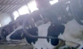 [VIDEO] Brutal: Torturan ganado en granja que provee a conocida pizzería