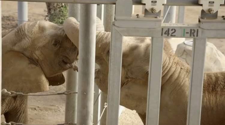 [VIDEO San Diego Zoo] La increíble reacción de un elefante cuando ve otro de su misma especie