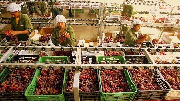 Las uvas Red Globe fue el producto que lideró las exportaciones lambayecanas.
