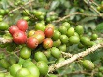 Las semillas de café importadas deberán cumplir ciertas normas para su nacionalización.