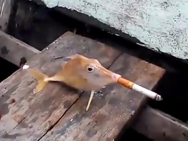 [VIDEO] Indignante: Pescadores obligan a pez a fumar cigarrillo