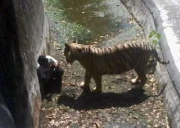 [VIDEO] Impactante: Tigre mata a joven que ingresó a zoo de la India