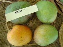 El mango peruano KENT ya se disfruta en Portugal.