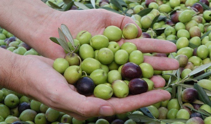 Las aceitunas peruanas es el principal producto agro nacional exportado hacia el mercado brasileño.