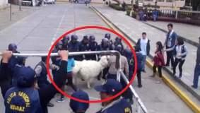 Una alpaca en problemas