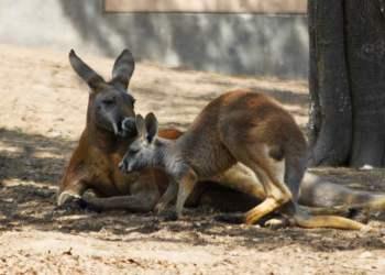 canguros bebé