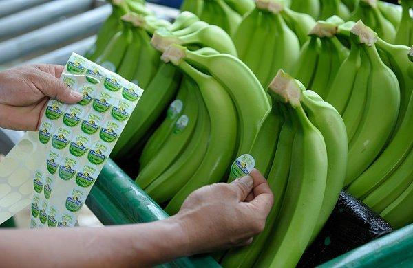 El ingreso del plátano orgánico peruano a Dubái ha sido catalogado de exitoso.