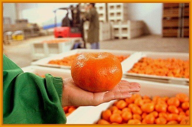 Las mandarinas peruanas ya se consumen en Brasil.